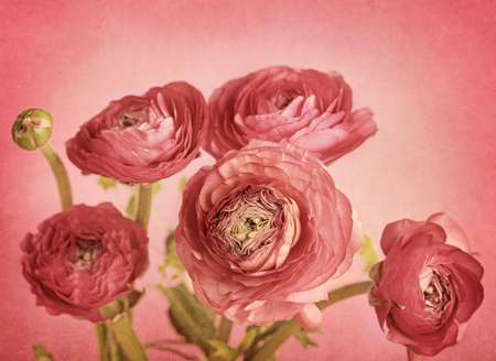 buttercup: Ranunculus flowers on red background Stock Photo