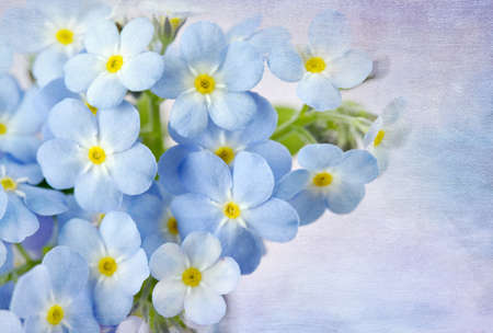 Forget me not on blue background photo