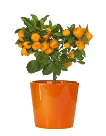 Calamondin in flowerpot isolated on white background photo