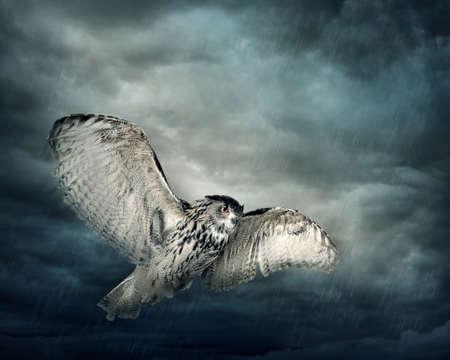 buhos: Volar búho pájaro en la noche Foto de archivo