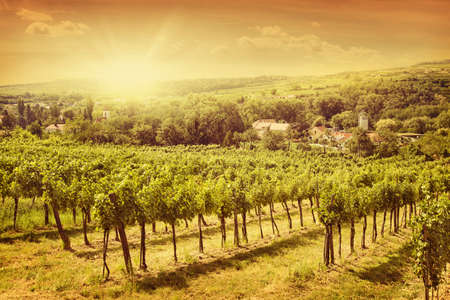 Vineyards landscape in Kamptal, lower Austria photo