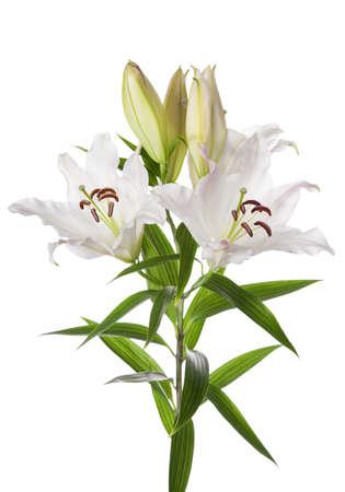 lirio blanco: Flores blancas del lirio aislada en el fondo blanco