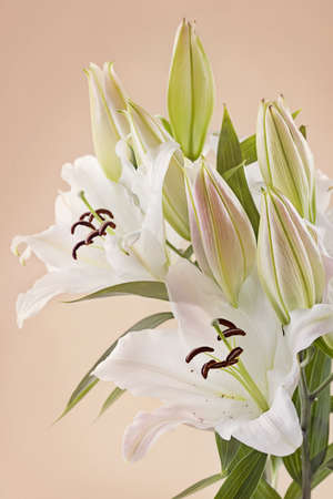 lily buds: White lily flowers isolated on pink background Stock Photo