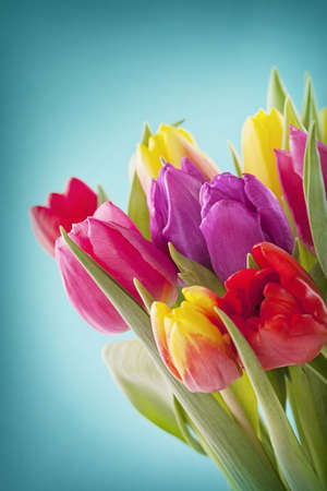 Tulip flowers on blue background Stock Photo
