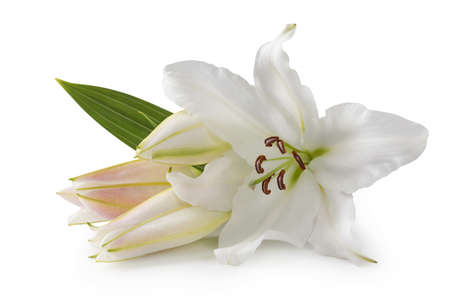 lily buds: White lily flowers isolated on white background Stock Photo