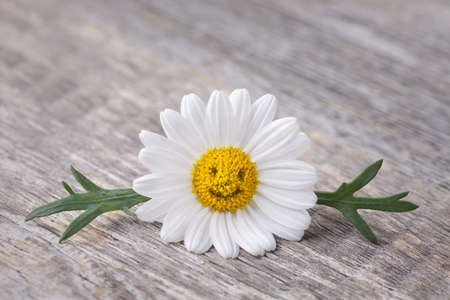 Chamomile flower on wooden background Stock Photo - 19082135