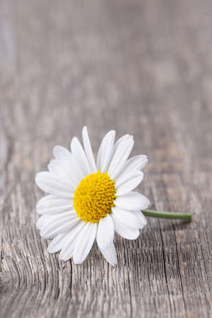 yellow daisy: Chamomile flower on wooden background