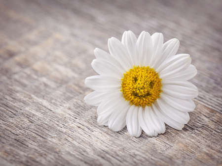 good luck: Chamomile flower on wooden background