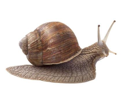 Land snail isolated on white background photo