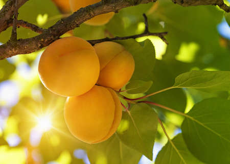 Apricot tree with fruits growing in the garden Imagens