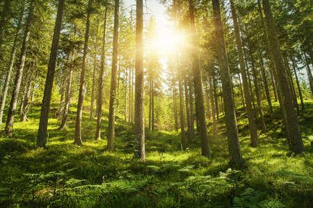 ensolarado: Luz solar na floresta verde
