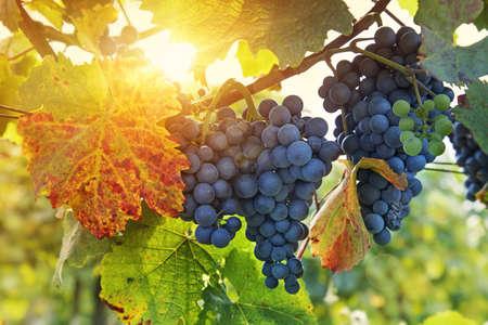 grape harvest: Bunch of black grapes on the vine