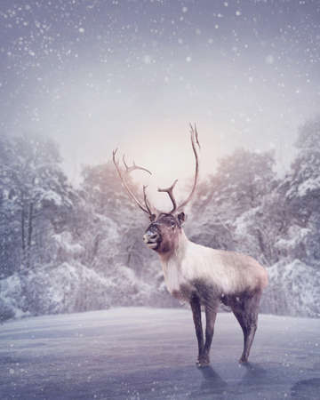 reindeer: Renne in piedi nella neve Archivio Fotografico