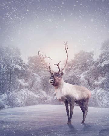 renos de navidad: Reno de pie en la nieve Foto de archivo
