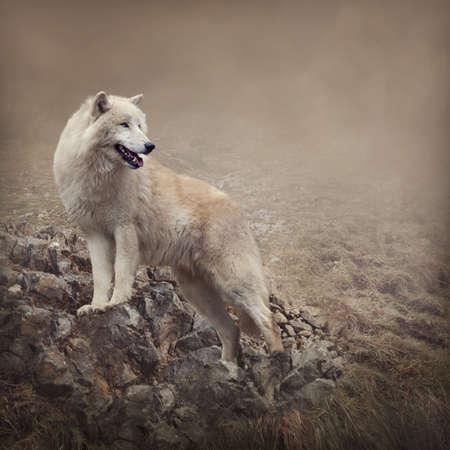lobo: Lobo blanco en la noche Foto de archivo
