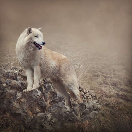 single story: White wolf at the night