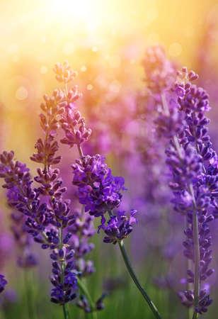 Detail van de tuin lavendel bloemen