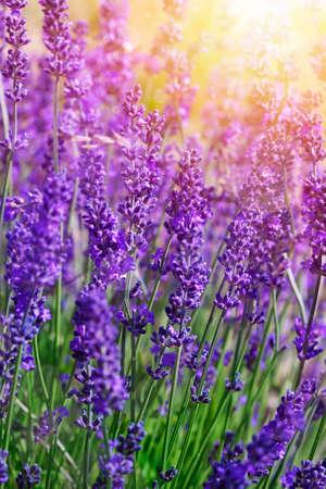 Detail of garden lavender flowers photo