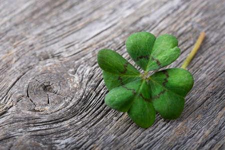four leaf: Tr�bol de cuatro hojas sobre fondo de madera gris