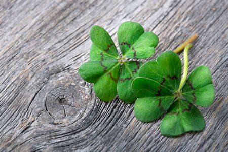 lucky clover: Four leaf clover on grey wooden background