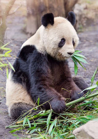 endanger: Giant panda bear sitting and eatig bamboo