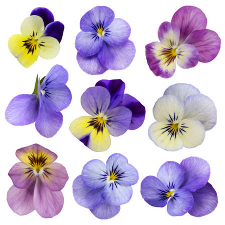 isolated on yellow: Viola flowers isolated on a white background Stock Photo