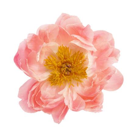 白い背景に分離した牡丹の花