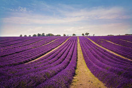 herbs of provence: Lavender field at sunset, Provence
