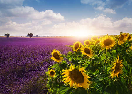 Lavender and sunflowers fields , Provence