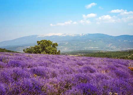 Lavendel veld met het oog op de Mont Ventoux
