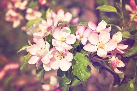 arbol de cerezo: Flor de las flores de cerezo del árbol en primavera Foto de archivo