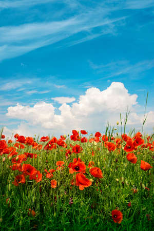 Landscape with red poppy flowers