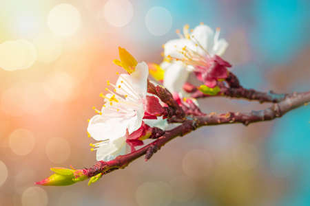 antique: Pear blossoms against  a blue sky Stock Photo