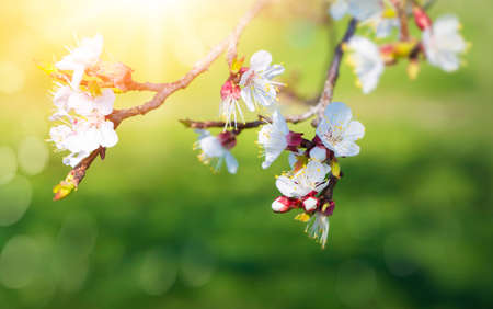 Pear blossoms against  a blue sky Stock Photo