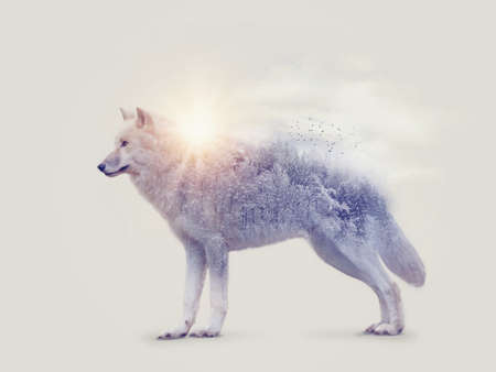 Doble exposición con un lobo ártico y bosque