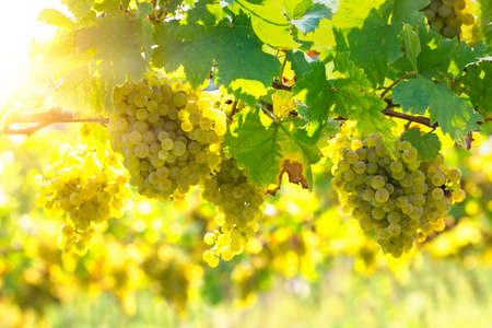 Bunch of white grapes on the vine
