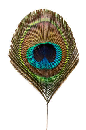 Peacock feather isolated on white background Standard-Bild