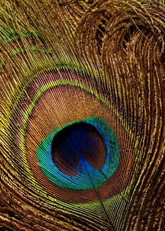 Abstract background with peacock feathers. Close up. Standard-Bild