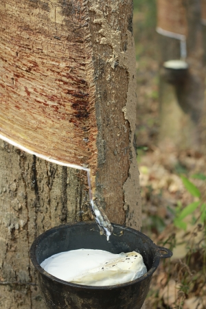Rubber trees(latex) in plantation Stock Photo - 17477656
