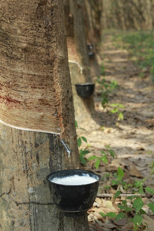 Rubber trees(latex) in plantation photo