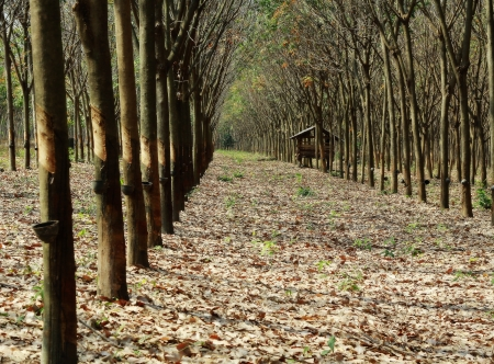 tapper: Rows of tapped rubber trees at a rubber estate in Thailand Stock Photo