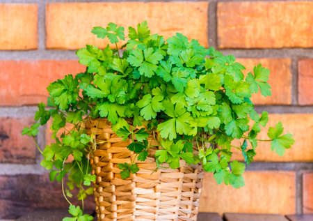 Fresh parsley in a pot with the brick background