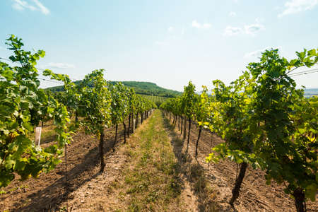 Vineyard near Palava, czech national park, wine agriculture and farming, nature landscape in summer, blue sky.