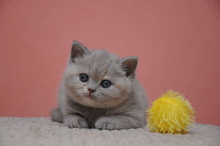 British shorthair kitten with orange background, adorable and cute baby kitten.