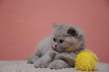 British shorthair kitten with orange background, adorable and cute baby kitten.