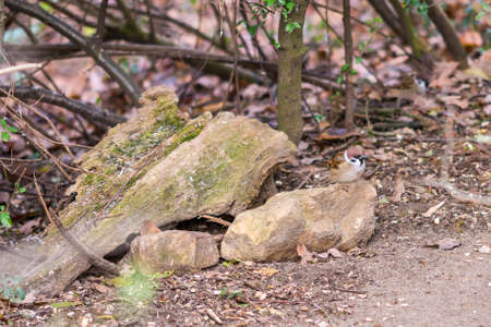 Small sparrow sitting on the stone in autumn forest, waiting for food. Brown background. Stock Photo