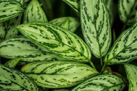 dieffenbachia leaves detail, fresh green plant.