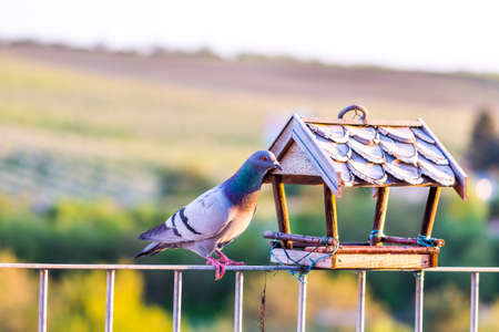 Pidgeon is sittin on the roof of the birdfeeder and look around. Green nature background with trees