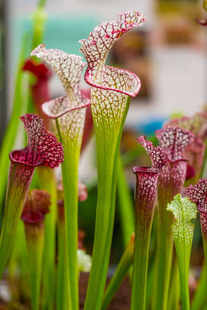 Closeup macro view of sarracenia leucophylla plant. Green insect consuming plant is growing in garden. Interesting botanical leafs with trumpet shape. Banque d'images