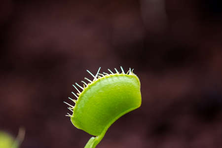 Trap leaf of dionaea muscipula carnivorous plant. Closeup look to leaves and insect inside.